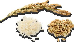 خوشه دانه برنج