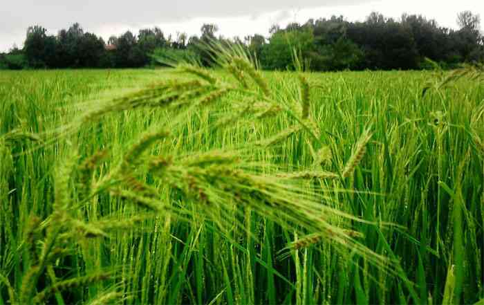 مزرعه کشت برنج هیبرید