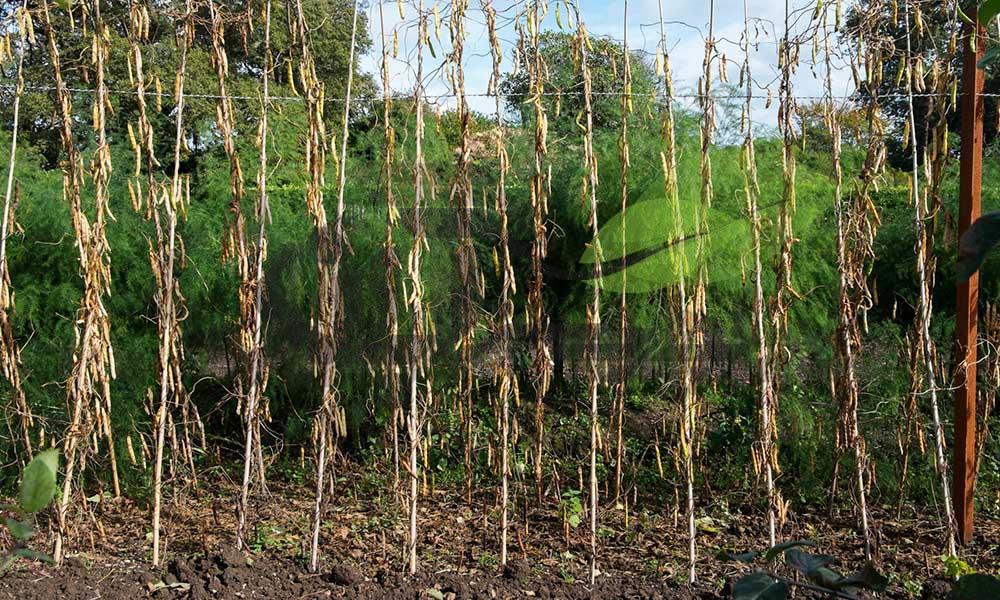 مزرعه تولید بذر هیبرید