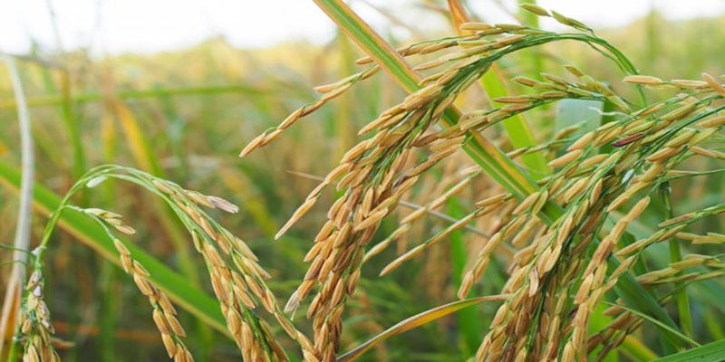 برنج هیبرید