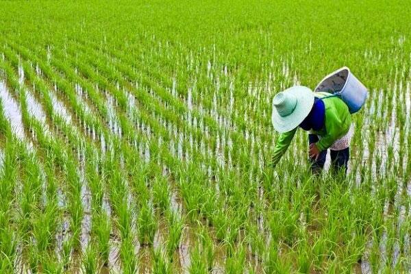 کشت برنج در مناطق نیمه گرمسیری